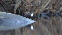 whitethroateddipper-koskikara-birds-birdphotography-video-naturevideo-natur-nature-luontokuvaus-luon