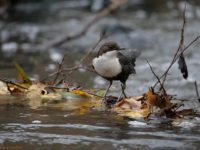 whitethroateddipper