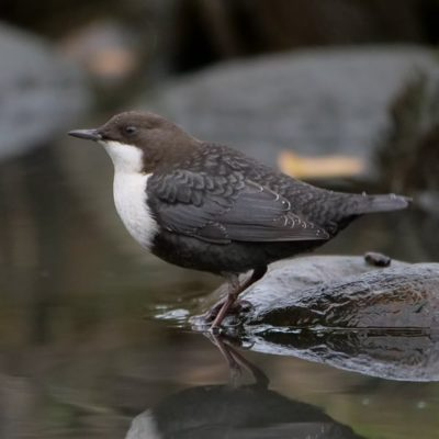 whitethroateddipper-koskikara-longinoja-finland-finnishnature-birds-birdlovers-birdphotography-ylelu-2