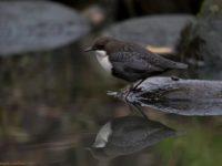 whitethroateddipper-koskikara-longinoja-finland-finnishnature-birds-birdlovers-birdphotography-ylelu