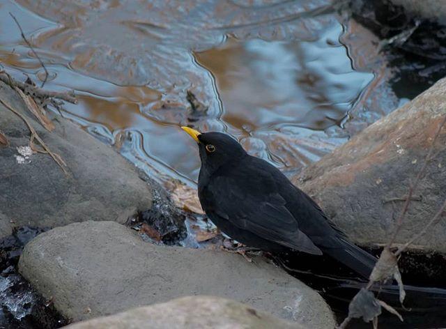 mustarastas-blackbird-longinoja-jaa-talvi-joulukuu-helsinki-finland-finnishnature-puro-birdphotograp