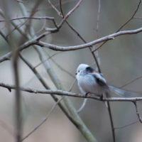pyrstotiainen-lintu-birds-birdlovers-helsinki-finnishnature-finland-longinoja-instabird-natur-nature