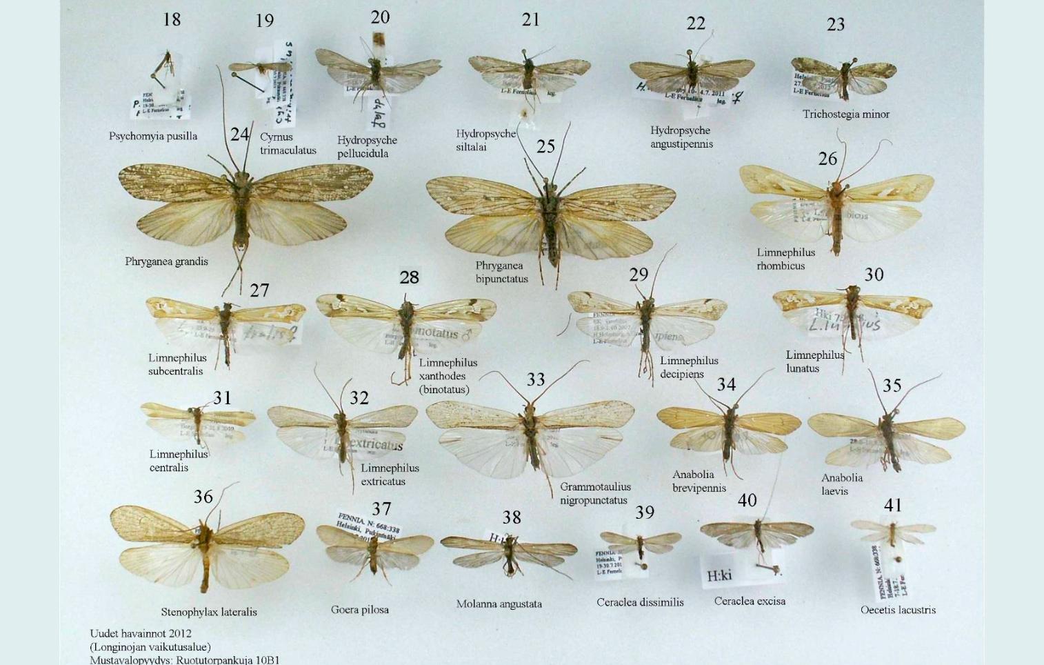 longinoja-vesiperhonen-lars-erik-farnelius2