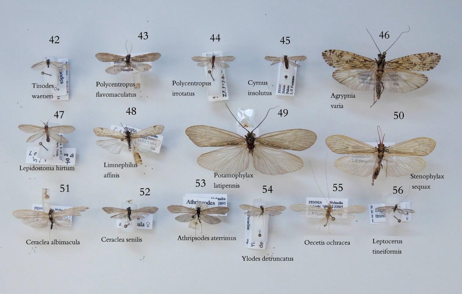 longinoja-vesiperhonen-lars-erik-farnelius3