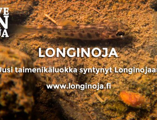 Uusi taimenikäluokka syntynyt Longinojaan – kunnostukset tuottavat tulosta